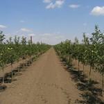 Капельное орошение интенсивного яблоневого сада